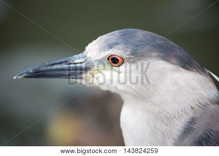 Black-Crowned Night-Heron, Nycticorax nycticorax, close-up. Black-crowned Night-Herons are stocky birds compared to many of their long-limbed heron relatives.