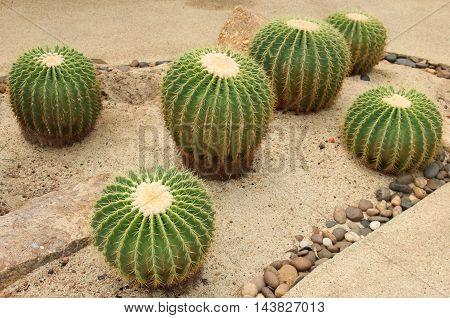 Cactaceae: Echinocactus grusonii or Golden Barrel Cactus.