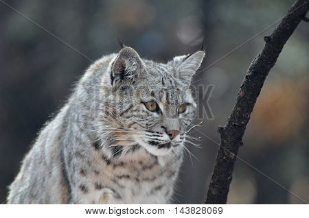 Prowling lynx bobcat on the hunt in the wild