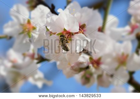 Bee collecting nectar from almond tree flower. Springtime nature background center spot blur.