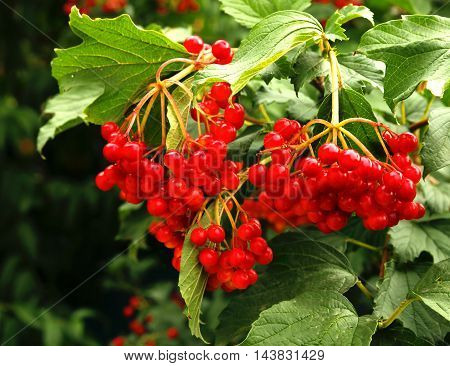 viburnum bush growing on the photo for micro-stock