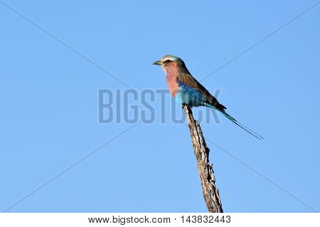 picture of a lilac-breasted roller in Madikwe reserve, South Africa.