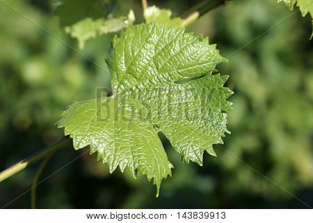 Wine Grape Vineyard featuring Wine Grapes, Leaves, and Grape Vines.