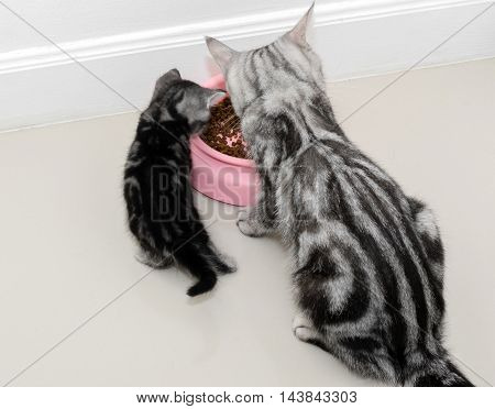 American Shorthair Cat Family. Mom Cat With Kitten Eating Food