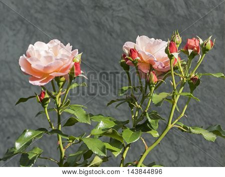 Two blooming apricot  roses on Grey Background