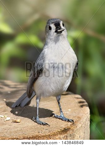 Tufted Titmouse Caught With His Beak In The Cookie Jar Parus bicolor With Sunflower Seed In His Beak