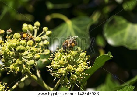 Single bee on a blooming ivy plant