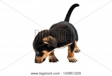 looking Dachshund puppy on a white background