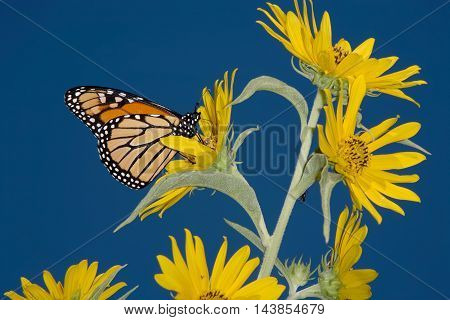 A Monarch Butterfly On A Yellow Compass Flowers With A Deep Blue Sky Background Danaus plexippus