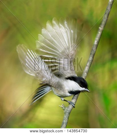 A Tiny Bird The Carolina chickadee In Motion blur While Taking Flight Poecile carolinensis