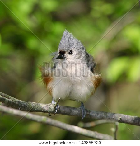 A Tiny And Cute Bird The Tufted Titmouse Striking A Typical Pose Parus bicolor