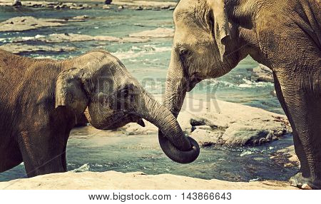 Elephant Kissing Represents Love Sri Lanka