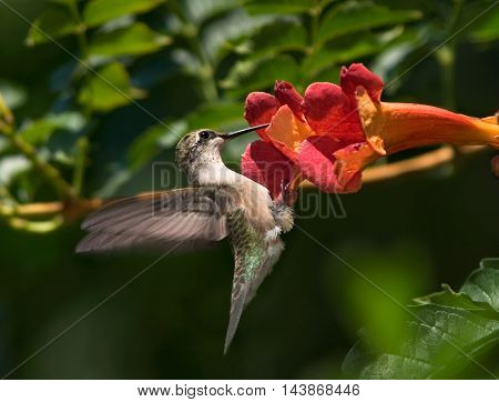 Archilochus colubris Ruby-Throated Hummingbird Female Extracting Nectar