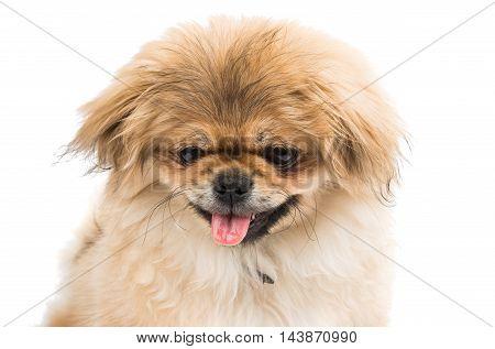 Pekingese small dog portrait on a white background