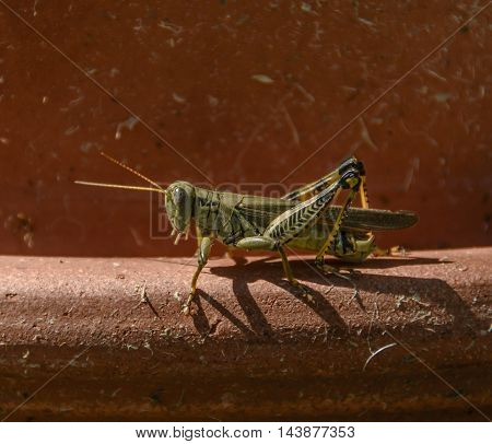 A Differential Grasshopper (Melanoplus Differentialis) resting in the sun, perched on a piece of garden pottery.