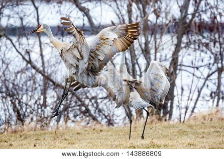 Two Sandhill Cranes coming in for a landing.
