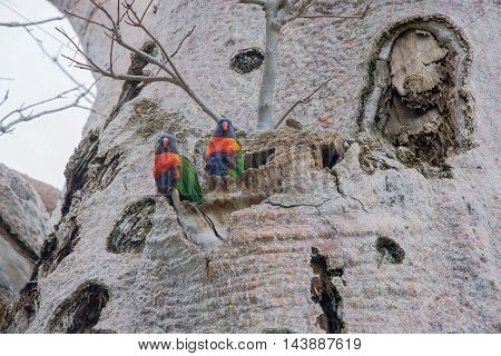 Two colourful Rainbow Lorikeets in the Boab Tree at King's Park in Perth, Western Australia.