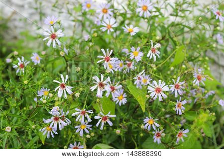 Small fragrant blue chamomile in the summer garden