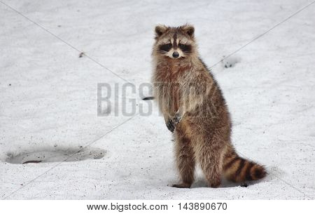 a beautiful picture with raccoon . impressive detail . Download now. a raccoon exceptional