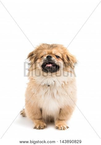 Pekingese dog portrait on a white background