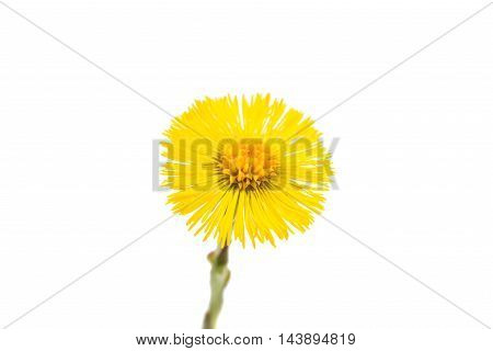 mother stepmother flower on a white background