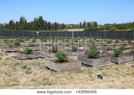 Marijuana Plants growing outdoors