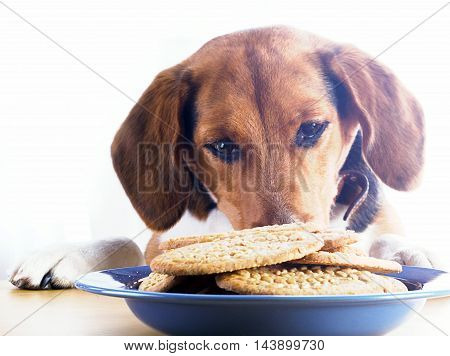 Beagle Puppy Dog Eating Sweet Cookie