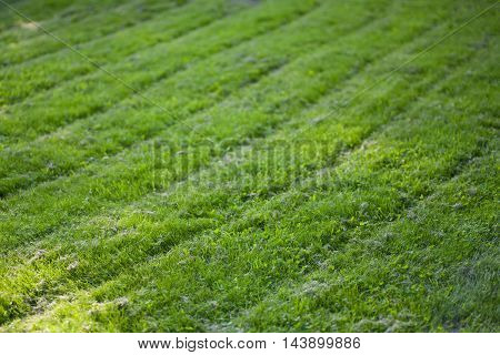 Freshly cut grass with curved lawn mowing lines
