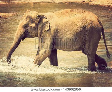 Asia Elephant Bath In River Ceylon