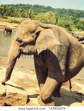 Vintage Nature Background Elepants Bathing In River Sri Lanka, Ceylon