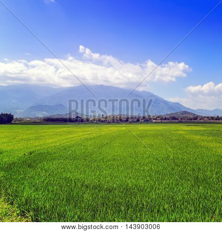 Agriculture Rice Field Green