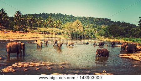 Family Asia Elephant Bath In River Ceylon