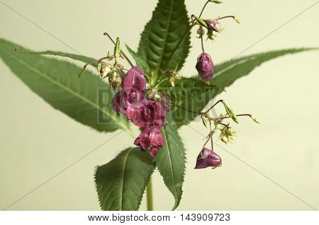 Impatiens glandulifera on a green background close up