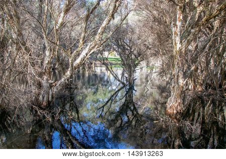 Wetland landscape with paper bark trees at the wildlife reserve Herdsman Lake in Western Australia.