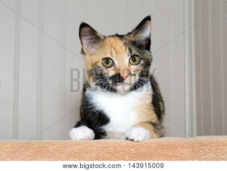Calico tortie tabby kitten on an orange blanket looking directly at viewer with curious yellow green brown eyes. Copy space