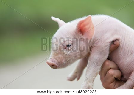 farmer holding a very cute young pig