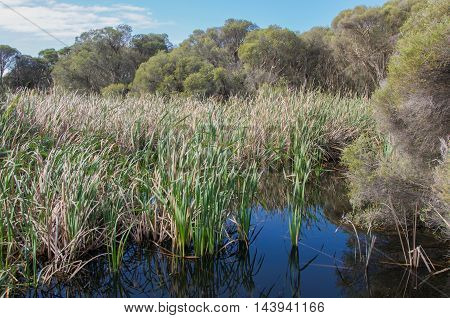 Green reeds and grasses in the freshwater wetland marsh at Herdsman Lake  under a blue sky with clouds in Western Australia.
