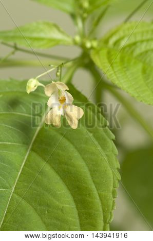 Impatiens parviflora on a green background close up