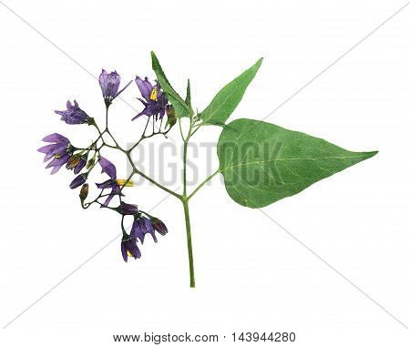 Pressed and dried delicate flower violet woody nightshade(solanum dulcamara) on stem with green leaves. Isolated on white background. For use in scrapbooking floristry (oshibana) or herbarium.