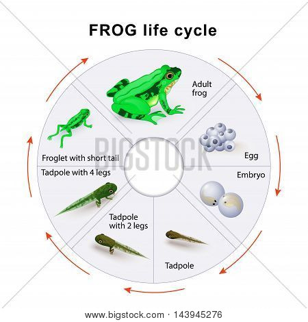frog life cycle. Amphibian Metamorphosis. vector diagram