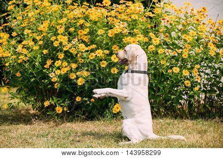 Side View Of Yellow Golden Labrador Adult Dog Sitting In A Stance On Its Hind Legs On The Bright Yellow Flowers Background.