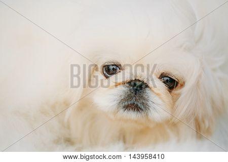 White Pekingese Pekinese Peke Whelp Puppy Dog Close Portrait