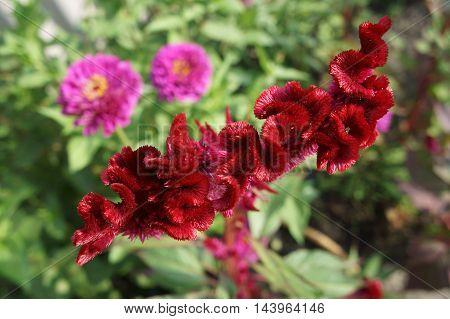 Red flower of Celosia cristata on a summer day.