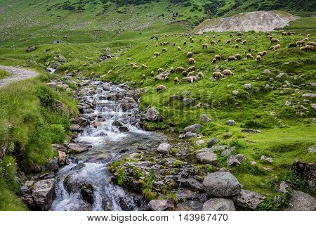 Sheeps on a pasture next to Transfagarasan Road in southern section of Carpathian Mountains in Romania