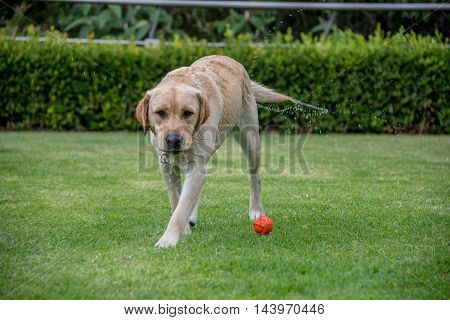 Wet Labrador Retreiver On Grass