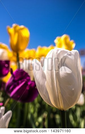 White Tulip With Purple And Orange Flowers