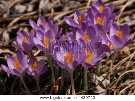 Crocus Blossoms In March