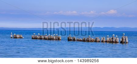 Sea Gulls resting on wooden pylons in the calm waters of Lake Superior at Whitefish Point Michigan Upper Peninsula USA