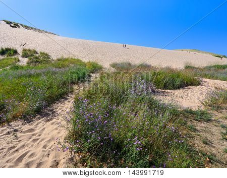 Purple Wildflowers at the foot of the main climbing dune at the entrance to the Sleeping Bear Dunes National Lakeshore Glen Arbor Michigan USA