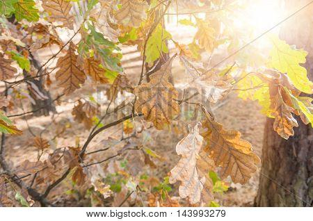 Oak branch and orange green oak leaves in fall